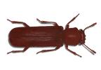 kumbang bubuk kayu